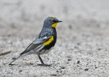 Audubons Zanger - Audubon's Warbler - Setophaga auduboni