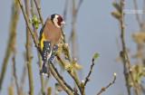 Putter - Goldfinch - Carduelis carduelis