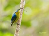 Langsnavelhoningasitie - Common Sunbird Asity - Neodrepanis coruscans