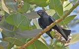 Glansrugdrongo - Glossy-backed drongo - Dicrurus divaricatus