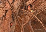 Geelparelbaardvogel - Vieillo's Barbet - Tricholaema hirsuta