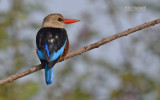 Grijskopijsvogel - Grey-headed Kingfisher - Halcyon leucocephala