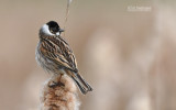 Rietgors - Reed bunting - Emberiza schoeniclus