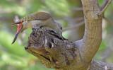 Grijsgroene specht - Grey Woodpecker - Dendropicos goertae