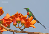 Feeënhoningzuiger - Beautiful  Sunbird - Cinnyris pulchella
