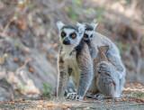 Ringstaartmaki - Ring-tailed lemur - Lemur catta