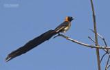 Sahelparadijswida - Sahel Paradise Whyday - Vidua orientalis
