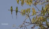 Kleine groene bijeneter - Little Green Bee-eater - Merops orientalis viridissimus