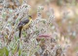 Witbandsijs - Lesser Goldfinch - Spinus psaltria