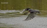 Reuze ijsvogel - Giant Kingfisher - Megaceryle maximus