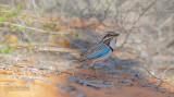Langstaartgrondscharrelaar - Long-tailed Ground-Roller - Uratelornis chimaera