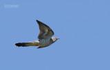 Koekoek - European cuckoo - Cuculus canorus