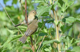 Fitis - Willow Warble - Phylloscopus trochilus