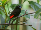 Roodrugtangare - Scarlet-rumped Tanager - Ramphocelus passerinii passerinii