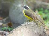 Roodkruintiran - Social Flycatcher - Myiozetetes similis columbianus