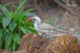 Westelijke roodsnaveltok - Western Red-billed Hornbill - Tockus Kempi