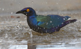 Purperglansspreeuw - Purple Glossy Starling - Lamprotornis purpureus