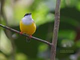 Witkraagmanakin - White-collared Manakin - Manacus candei