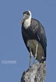 Bisschopsooievaar - Wooly-necked Stork - Ciconia episcopus