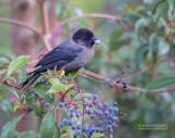 Geeldij-struikgors - Yellow-thighed Finch - Pselliophorus tibialis
