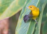 Citroenzanger - Prothonotary Warbler -  Protonotaria citrea