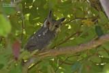 Noordelijke witwangdwergooruil - Northern White-faced Owl - Ptilopsis leucotis