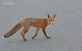 Vos - Fox - Vulpes vulpes