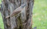 Sahelbabbelaar - Brown Babbler - Turdoides plebejus