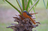 Schubkaplawaaimaker - White crowned Robin Chat - Cossypha albicapillus