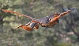 Western red colobus - Procolobus badius