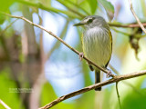 Grijskeelschoffelsnavel - Slate-headed Tody-Flycatcher - Poecilotriccus sylvia schistaceiceps