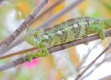 Reuzenkameleon - Oustalet's chameleon - Furcifer oustaleti