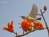 Violetrughoningzuiger - Westren Violet Sunbird - Anthreptes longuemarei