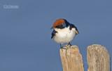 Roodkruinzwaluw - Wire-tailed Swallow - Hirundo smithii