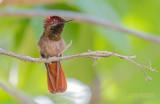 Muskietkolibrie - Ruby-topaz hummingbird - Chrysolampis mosquitus