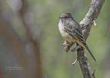 Salvins vliegenpikker - Northern scrub flycatcher - Sublegatus arenarum