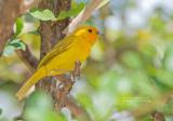 Gewone saffraangors - Saffron Finch - Sicalis flaveola flaveola