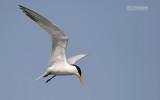 Afrikaanse koningsstern - West African Crested Tern - Thalasseus albididorsalis
