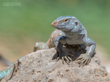 Bonairiaanse renhagedis - Bonaire Whiptail Lizard - Cnemidophorus ruthveni