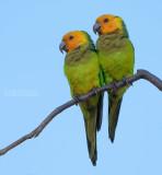 Maïsparkiet - Brown-throated Parakeet - Eupsittula pertinax