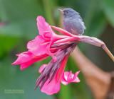 Leigrijze Berghoningkruiper - Slaty Flowerpiercer - Diglossa plumbea plumbea
