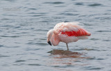 Chileense Flamingo - Chilean Flamingo - Phoenicopterus chilensis