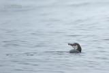 Humboldtpinguïn - Humboldt penguin - Spheniscus humboldti