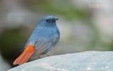 Waterroodstaart - Plumbeous Redstart - Phoenicurus fuliginosus