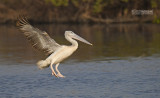 Kleine pelikaan - Pink-backed pelican - Pelecanus rufescens