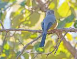 Grijze zijdevliegenvanger - Grey silky-flycatcher - Ptiliogonys cinereus otofuscus