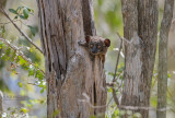 Roodstaartwezelmaki - Red-tailed sportive lemur - Lepilemur ruficaudatus