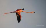 Rode flamingo - Caribbean flamingo - Phoenicopterus ruber