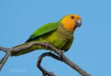 Maïsparkiet - Brown-throated Parakeet - Eupsittula pertinax xanthogenia