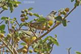 Waaliaduif - Bruce's Green Pigeon - Treron waalia